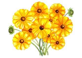 Flower bouquet coreopsis sunray. Watercolor illustration.
