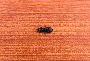 Beetle lie supine on the wooden floor