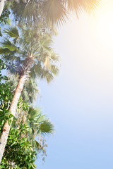 Tropical palm trees with sunlight.