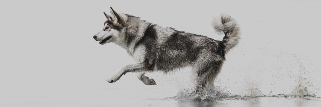 Northern dog runs on water on a gray background
