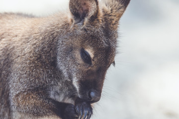 Wallaby (Macropodidae) hanging around the park in vintage setting