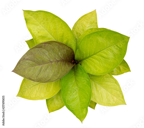 Caladium Queen Of The Leafy Plants Top View Isolate On White Background