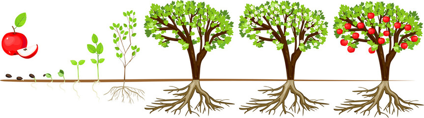Fototapeta Life cycle of apple tree. Stages of growth from seed and sprout to adult plant with fruits