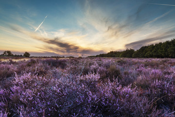 Heather field landscape
