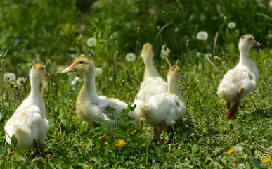 Small domestic white ducklings graze on a background of green grass with yellow dandelions.