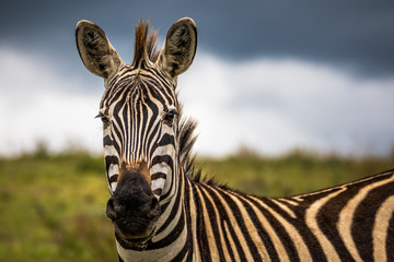 Aluminium Prints Zebra A portrait of a zebra in the Ngogongoro Crater in Tanzania, with a storm approaching.