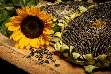 Photo sur Plexiglas Tournesol big and delicious sunflower on an old wooden table on a black background