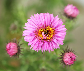 Pink blossom of aster with buds in background. DEtailed view.