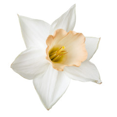 Flower of a daffodil with a delicate beige center isolated on white background.