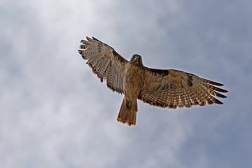 Bird hawk flying high above California