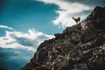 Tatra chamois in Hight Tatras