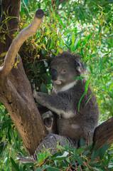 Koala, or phascolarctos cinereus, in a eucalyptus tree in Australia