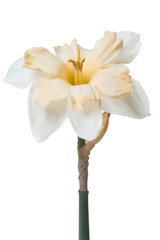 An unusual daffodil flower isolated on white background.