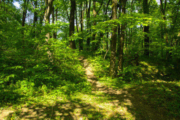 An empty gravel path in a dense green forest surrounded by tall trees against the background of the sun passing through them.
