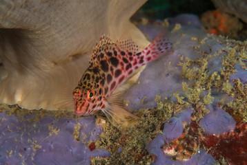 Hawkfish, Cirrhitichthys Oxycephalus.