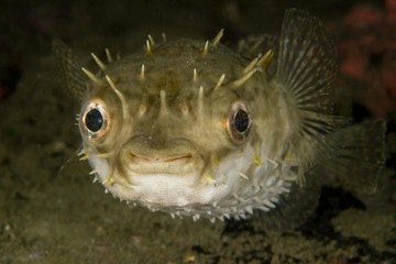 Porcupinefish blow up like a balloon to scare predators by extending its scales to become sharp spines.