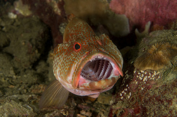 Coral Grouper with a Cleaner Shrimp
