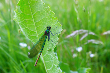 Dragonfly sits on a green leaf of the plant in summer day
