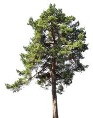 Pine tree, isolated on white background