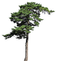 Scotch fir conifer tree, isolated