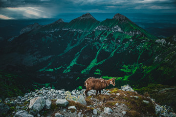 Chamois in High Tatras, green mountains in background