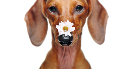 Closeup picture of a dachshund with a daisy flower on the nose