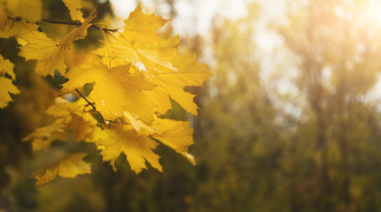 Tree branch with yellow leaves in autumn forest