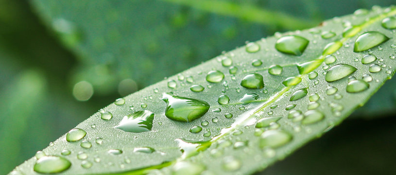 Beautiful grean leaf texture with drops of water, close up. Selective focus. After rain. Long banner with copy space. Long horizontal banner.