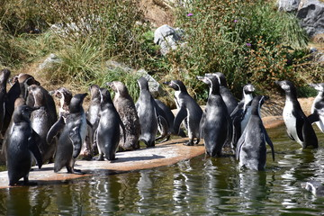A lot of penguins are standing on the shore of a lake