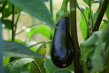 Aubergine is growing in a greenhouse in the garden