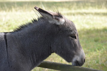 Portrait of a grey donkey on a meadow