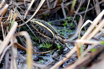 Jack snipe close up through grass and bog