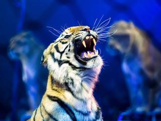 Gors plan sur la tête d'un tigre de cirque qui feule avec deux autres tigres sagement assis sur leur tabouret qui se détachent en arrière plan