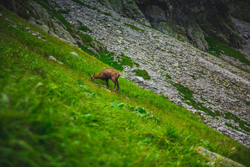 Chamois on the green grass in High Tatras