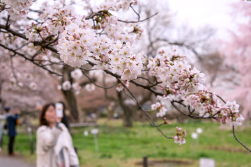 Woman taking photo of Sakura with smartphone スマホで桜の写真を撮る女性