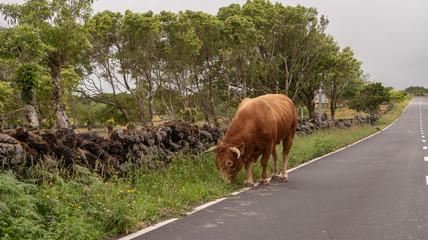 Kuh auf der Straße,  Azoren