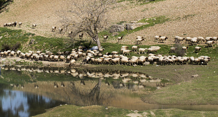 Flock of sheep are grazing together in rural and their reflection to water