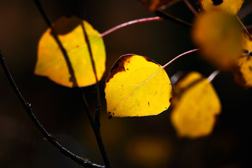 Yellow Aspen Leaves with Dark Background