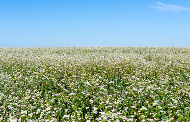 blooming field with buckwheat