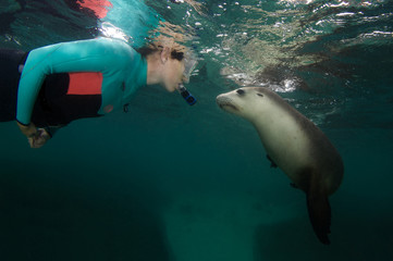 a curious sea lion face to face with a snorkeler