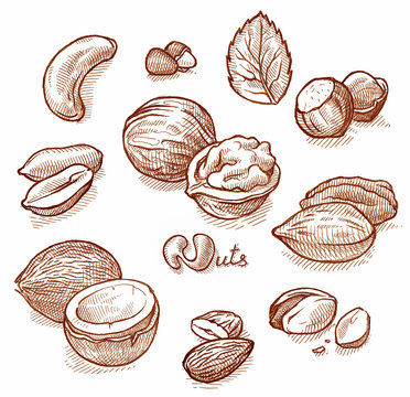 Nuts vintage illustration. Hand drawn engraved food objects.