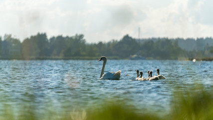 Mother swan with children, swan family