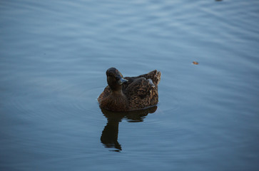 Wild Duck in Pond or Lake with Water Background.  Close up