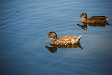 Two Wild Ducks in Pond or Lake with Water Background.  Close up