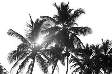 Foto op Canvas Palm boom black and white palm trees on white isolate background