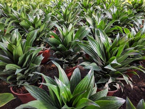Rows of Dracaena compacta (Janet Craig compacta) plants