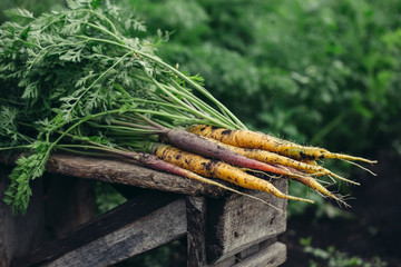 Bunch of fresh organic yellow and purple carrots on wooden rustic table, in the garden. Selective focus.