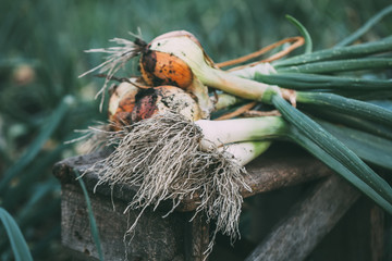Freshly Picked Onions and leeks
