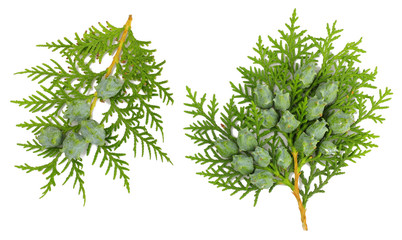 Branch of thuja isolated on white