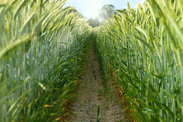 Trockenes Getreidefeld - Klimawandel